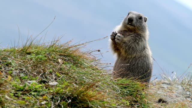 marmot, marmota marmota, stands upright, in the european alps - marmot stock videos & royalty-free footage