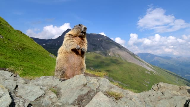 Marmot, Marmota marmota, stands upright, in the European Alps