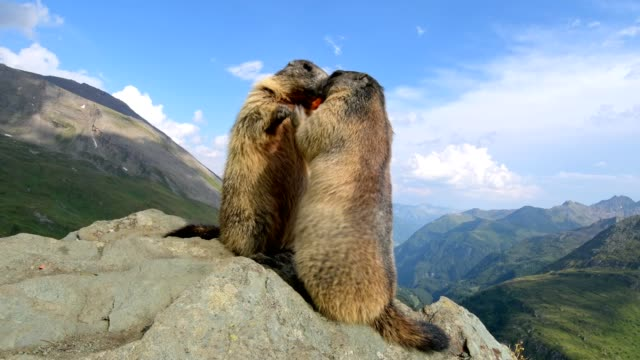 vídeos y material grabado en eventos de stock de marmot, marmota marmota, stands upright, in the european alps - two animals