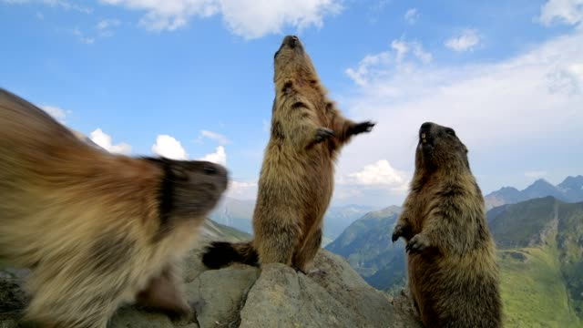 vidéos et rushes de marmot, marmota marmota, stands upright, in the european alps - trois animaux
