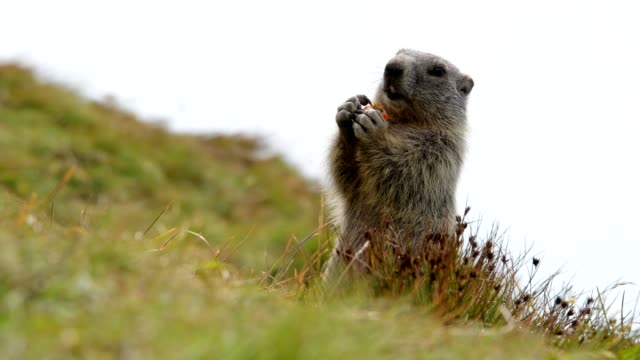 Marmot, Marmota marmota, young in the European Alps
