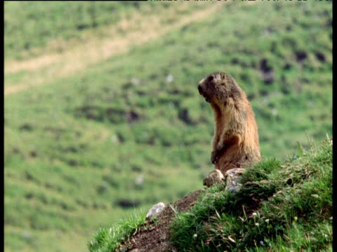 Marmot stands and alarm calls at burrow entrance, Swiss Alps