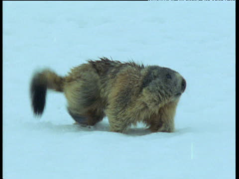 Marmot trudges through snow, wafting its tail, Swiss Alps