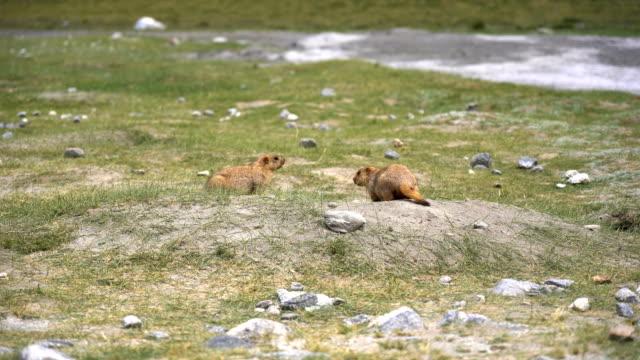 Murmeltiere auf der Wiese vor der Ankunft Pangong See, Leh, Ladakh