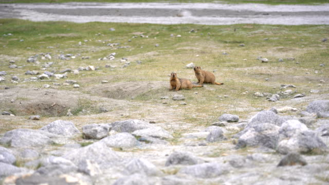 marmots in the meadow before arriving pangong lake, leh, ladakh - marmot stock videos & royalty-free footage