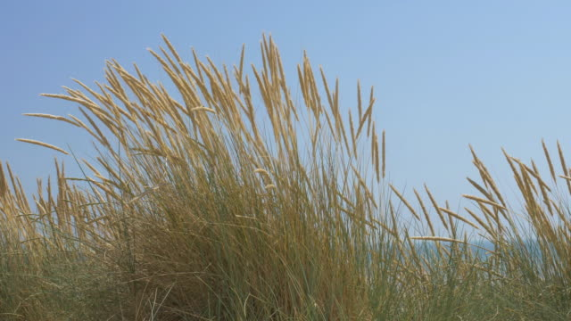 marram grass blowing in the wind, blue sky. ds. - reed grass family stock videos & royalty-free footage
