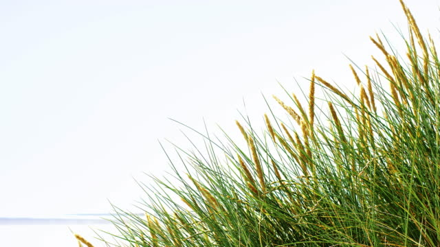marram grass by the beach with copy space. lockdown. - marram grass stock videos & royalty-free footage