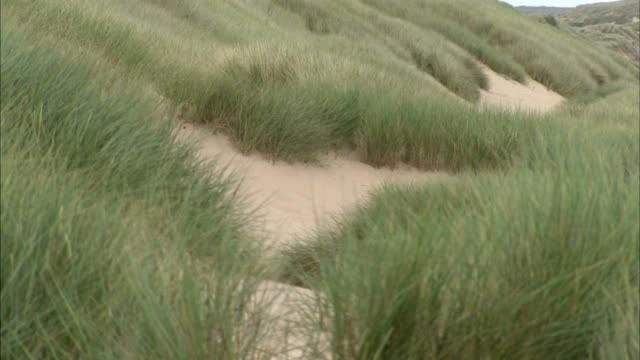 cu marram grass moving in wind fg grass dry needing water tu reveals sand dunes more grass below no people sites of special scientific interest - marram grass stock videos & royalty-free footage