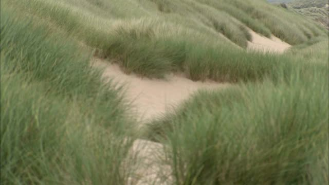 marram grass moving in wind fg grass dry needing water tu reveals soft sand dunes more grass below td cu sea grass no people sites of special... - marram grass stock videos and b-roll footage
