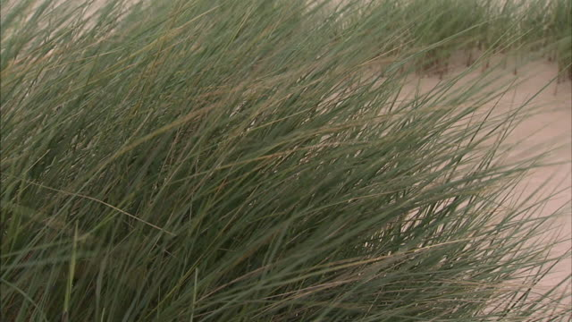 marram grass moving in wind sand more grass bg no people sites of special scientific interest protected environment - marram grass stock videos & royalty-free footage
