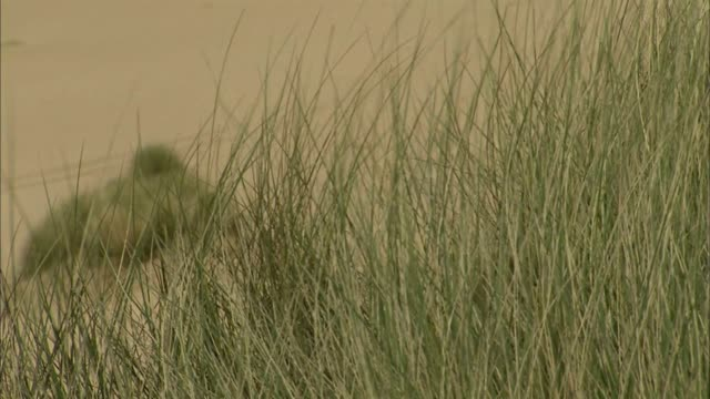 cu marram grass moving in wind soft sand dunes grass bg no people sites of special scientific interest protected scottish environment protection... - marram grass stock videos & royalty-free footage