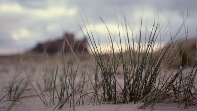 marram grass shakes in the wind on a beach - reed grass family stock videos & royalty-free footage