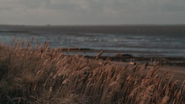 marram grass swaying in the breeze - reed grass family stock videos & royalty-free footage