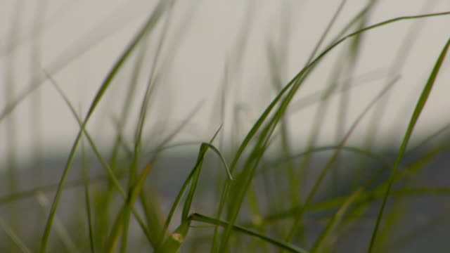 cu, focusing, marram grass (ammophila) swaying on breeze, provincetown, massachusetts, usa - marram grass stock videos & royalty-free footage