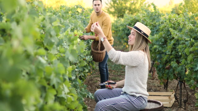 married couple harvesting grapes in autumn - sun hat stock videos & royalty-free footage