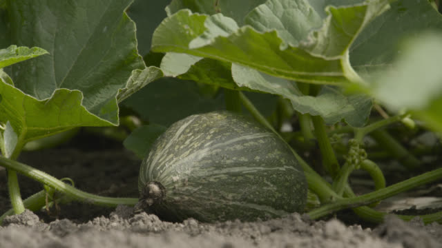 marrow in field, japan. - land stock videos & royalty-free footage