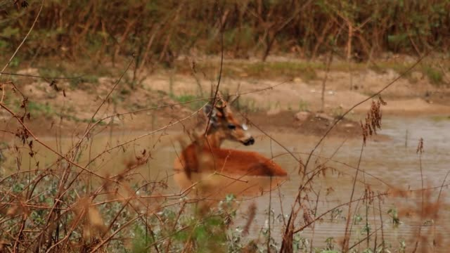 marsh deer in pantanal on september 24, 2020 in pocone, brazil. pantanal is located mostly within the brazilian state of mato grosso and mato grosso... - 泥沼地点の映像素材/bロール