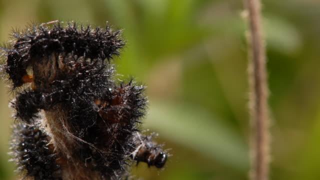 t/l marsh fritillary (euphydryas aurinia) caterpillars in communal web, moulting, take 3, uk - spinnennetz stock-videos und b-roll-filmmaterial