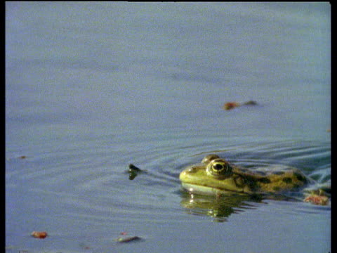 marsh frog leaps and strikes damselfly on twig - frog stock videos and b-roll footage