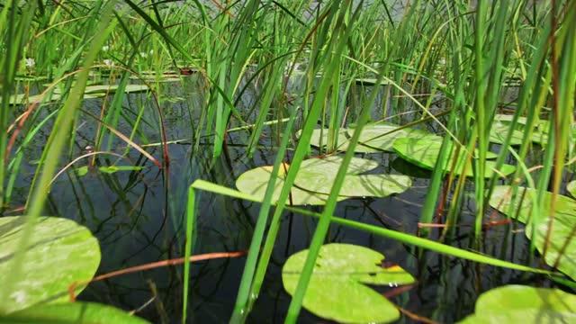 リードと睡蓮のフルマーシュ - 野生動物保護地区点の映像素材/bロール