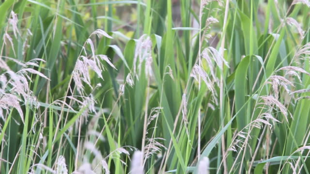 marsh grass - grass family stock videos & royalty-free footage