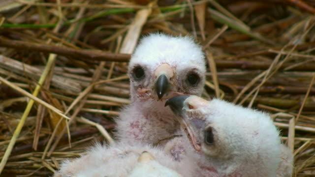 vídeos de stock e filmes b-roll de pântano harrier chicks - quatro animais