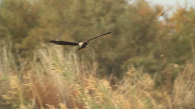 Marsh harrier (Circus aeruginosus) hunting above dense reedbeds