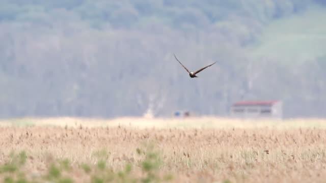 stockvideo's en b-roll-footage met marsh harrier - moeras