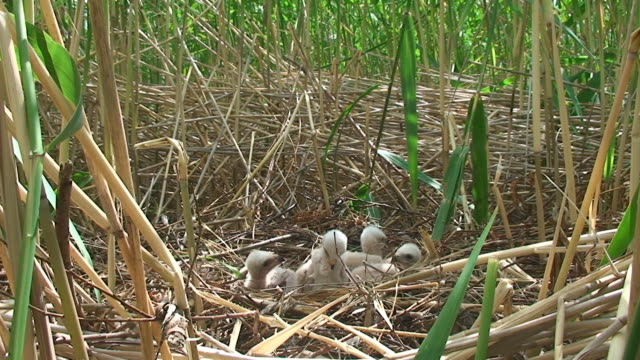 vídeos de stock e filmes b-roll de pântano harrier ninho - grupo pequeno de animais