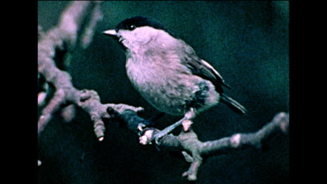 marsh tit (parus palustris) on a tree branch and bird table; 1978 - 1978 stock videos & royalty-free footage