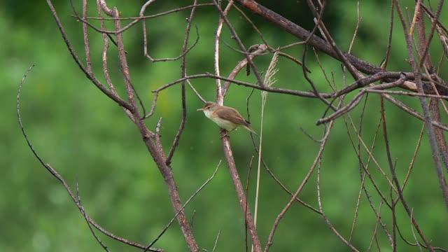 marsh warbler perching on the tree branch and singing - ムシクイ類点の映像素材/bロール