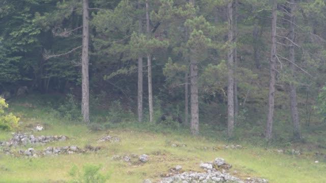 marsican bear in abruzzo in the national park of abruzzo, lazio and molise, italy on june 26, 2020. - ラツィオ州点の映像素材/bロール