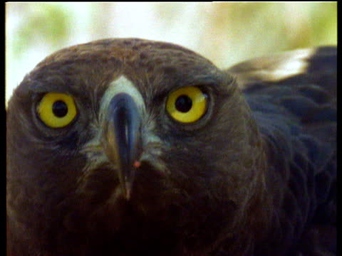 martial eagle looks to camera, africa - animal eye stock videos & royalty-free footage