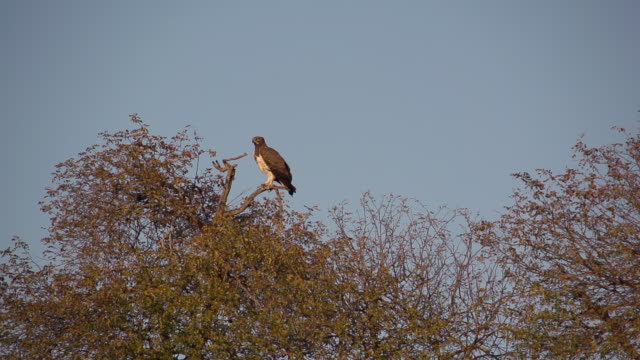 ws slo mo ts martial eagle taking off / kruger national park, mpumalanga, south africa - provinz mpumalanga stock-videos und b-roll-filmmaterial