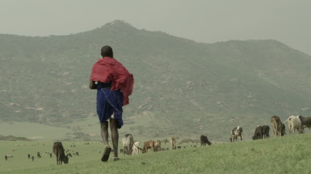 A Masai farmer walks towards a herd of cattle on the grasslands of the Serengeti National Park.