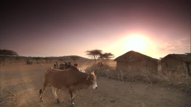 vídeos y material grabado en eventos de stock de masai farmers herd cattle and goats past huts in tanzania. - aldea