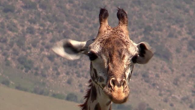 Masai Giraffe chewing cud, closeup, Masai Mara, Kenya