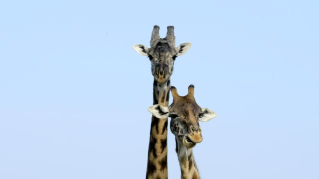 masai giraffe, giraffa camelopardalis, masai mara national reserve, kenya, africa - two animals stock videos & royalty-free footage
