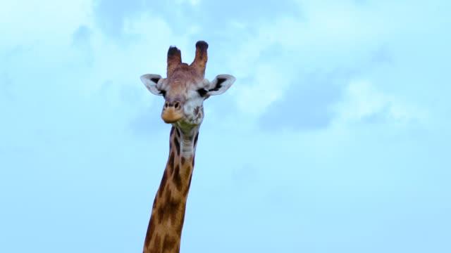 vídeos de stock, filmes e b-roll de masai giraffe head & neck maasai mara  kenya  africa - girafa