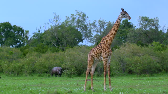 masai giraffe & hippopotamus maasai mara  kenya  africa - grasen stock-videos und b-roll-filmmaterial
