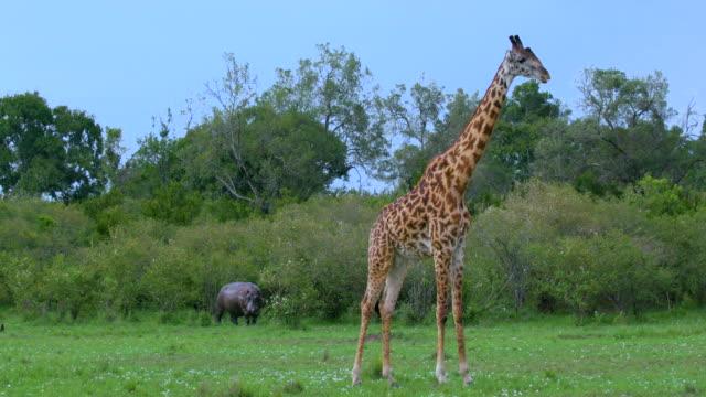 Masai Giraffe & Hippopotamus Maasai Mara  Kenya  Africa