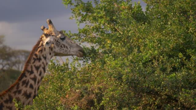 masai giraffe in nairobi, kenya - nairobi stock videos and b-roll footage
