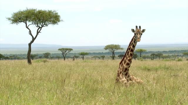 masai giraffe lying down, samburu, kenya - giraff bildbanksvideor och videomaterial från bakom kulisserna
