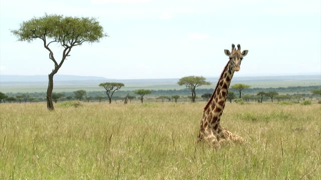 vídeos de stock, filmes e b-roll de masai giraffe lying down, samburu, kenya - girafa