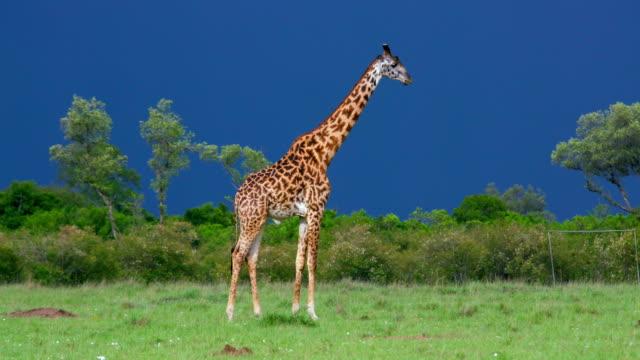vídeos de stock, filmes e b-roll de masai giraffe stood maasai mara  kenya  africa - girafa