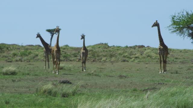 WS 4 Masai Giraffe walk towards camera in short grass