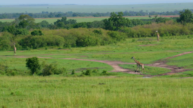 masai giraffe walking in savannah, maasai mara, kenya, africa - campo d'aviazione video stock e b–roll