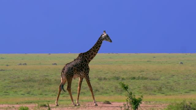 masai giraffe walking on bank, maasai mara, kenya, africa - safari animals stock videos & royalty-free footage