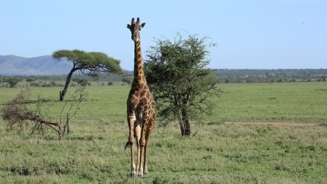 Masai Giraffe walking to camera