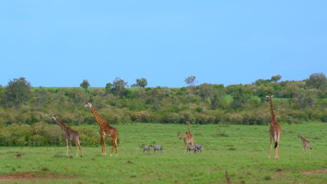 Masai Giraffes & Burchell'S Zebras Grazing Maasai Mara  Kenya  Africa